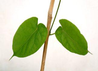 foglie - polmoni - il respiro è vita